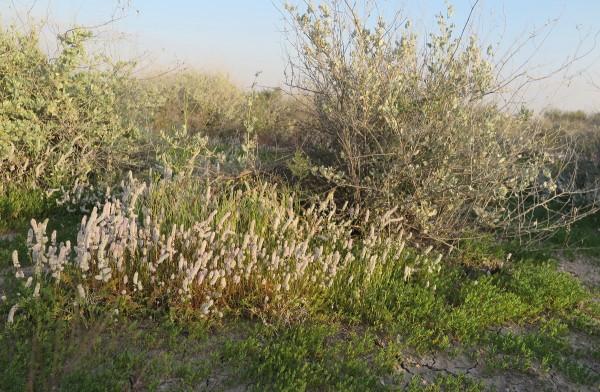 עדעדית משובלת Psylliostachys spicata (Willd.) Nevski