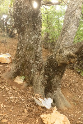 Quercus cerris L.