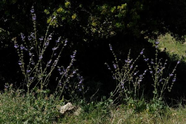 מרווה כחולה Salvia indica L.