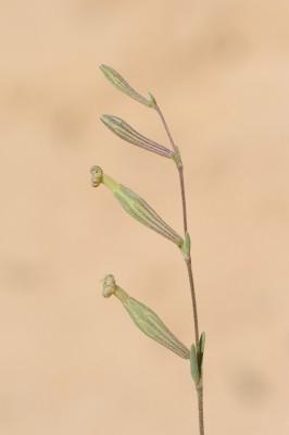 ציפורנית מדברית Silene vivianii Steud.