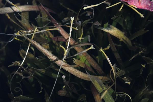 וליסנריה סלולה Vallisneria spiralis L.