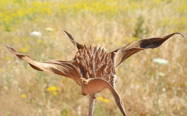 Ziziphora capitata L.