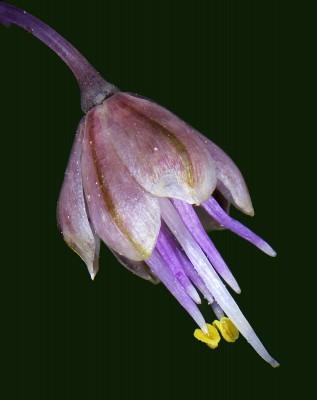 שום האבקנים Allium daninianum Brullo, Pavone & Salmeri