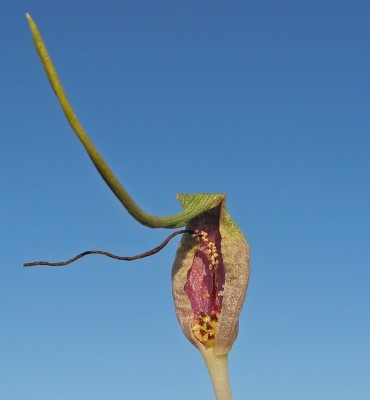 Biarum olivieri Blume