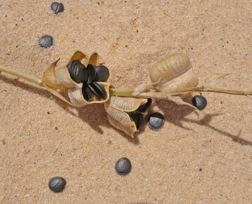 כתריים אדמדמים Dipcadi erythraeum Webb & Berth.