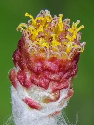 דם-המכבים האדום Helichrysum sanguineum (L.) Kostel.