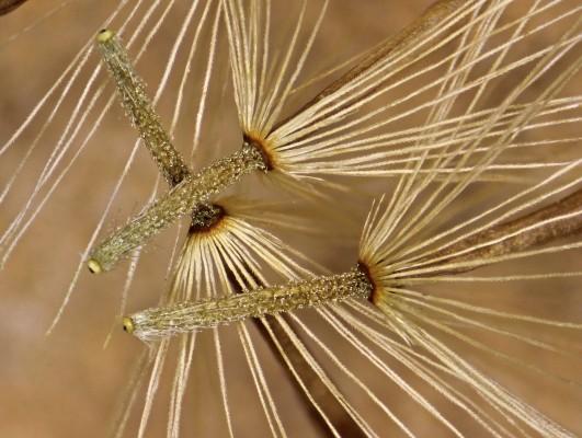 Chiliadenus montanus (Vahl) Brullo