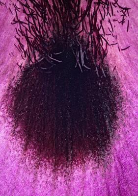 אירוס הנגב Iris mariae Barbey