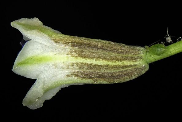 זמזומית ורבורג Bellevalia warburgii Feinbrun
