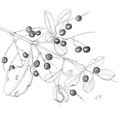 Salvadora persica L.