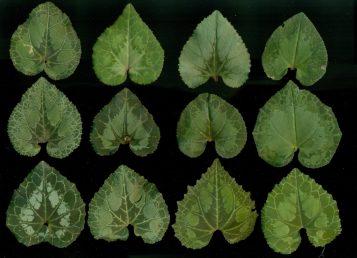 שונות גנטית בין הפרטים מתבטאת בשונות דגמי העלים, אין ריבוי אל-מיני בצמח זה