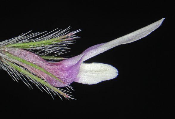 תלתן הנביאים Trifolium prophetarum Hossain