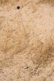 צמח גבוה בעל תפרחת ארגמנית צפופה וכדורית, פורח לאחר האביב