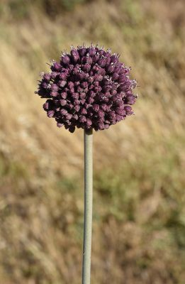 שום קטוע Allium truncatum (Feinbrun) Kollmann & D.Zohary