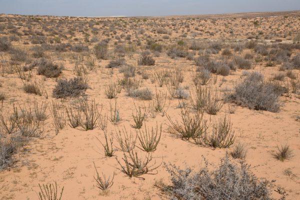 לענה חד-זרעית Artemisia monosperma Delile