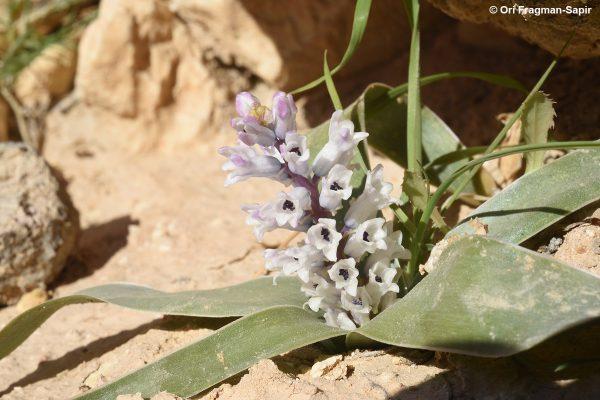 זמזומית המדבר Bellevalia desertorum Eig & Feinbrun
