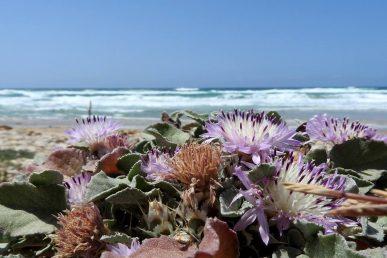 צמח חופי של חגורת הרסס