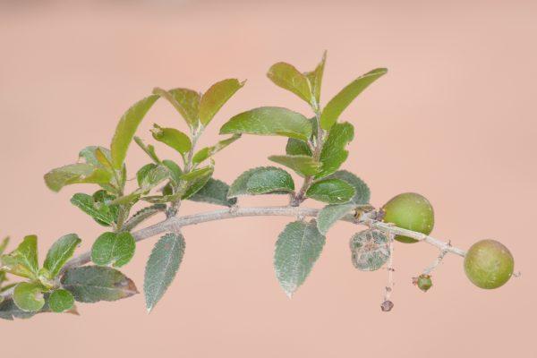 Sageretia thea (Osbeck) M.C.Johnst.