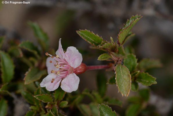 דובדבן קטן-פרי Cerasus microcarpa (C.A.Mey.) Boiss.