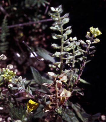 אליסון זיפני Alyssum strigosum Banks & Sol.