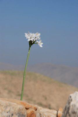 Allium palaestinum Kollmann ex Fragman et N.Friesen