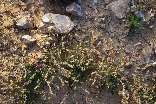 אליסון סגלגל Alyssum dasycarpum Willd.