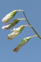 שיני הגביע ארוכות מצינור הגביע. עוקץ הפרח קצר מהגביע