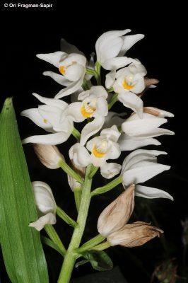 סחלבן החורש Cephalanthera longifolia (L.) Fritsch