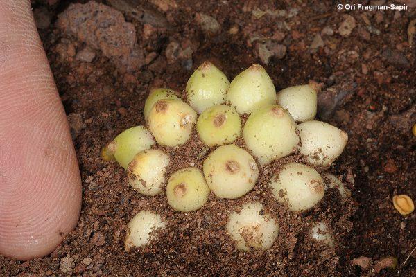 אחילוף צר-עלים Biarum angustatum (Hook.f.) N.E.Br.