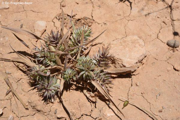 עפרון מפשק Eremopyrum bonaepartis (Spreng.) Nevski