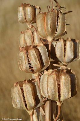 גביעונית הלבנון Fritillaria persica L.