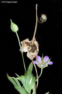 גרניון נאה Geranium columbinum L.