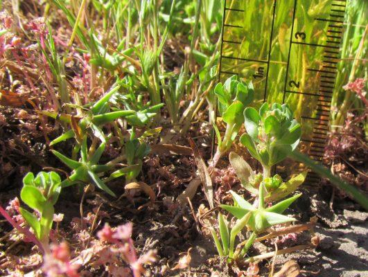 שנית רחבת-עלים Lythrum borysthenicum (Schrank) Litv.