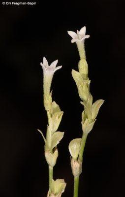 מכנפיים מדבריים Pterogaillonia calycoptera (Decne.) Lincz.