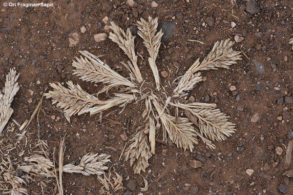 יקשן שרוע Sclerochloa dura (L.) P.Beauv.