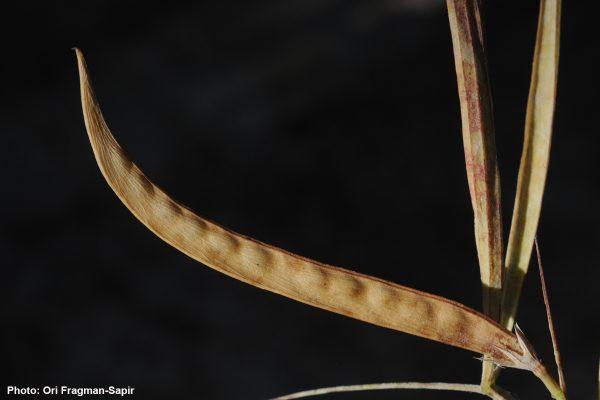טופח כדורי Lathyrus sphaericus Retz.