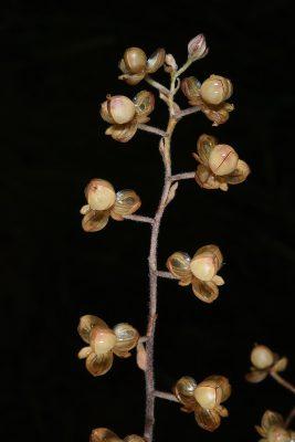 שמשון מצוי Helianthemum salicifolium (L.) Mill.