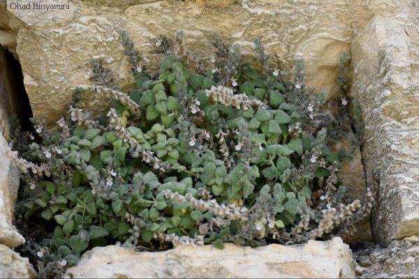געדת הסלעים Teucrium montbretii Benth.