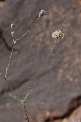תגית סיני Lomelosia olivieri (Coult.) Greuter & Burdet