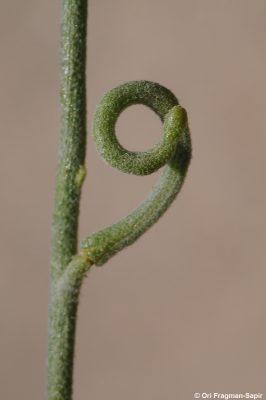 מנתור ערבי Matthiola arabica Boiss.