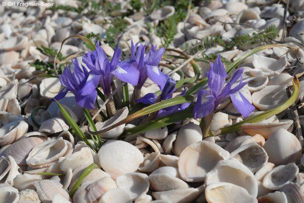 Moraea sisyrinchium (L.) Ker-Gawler