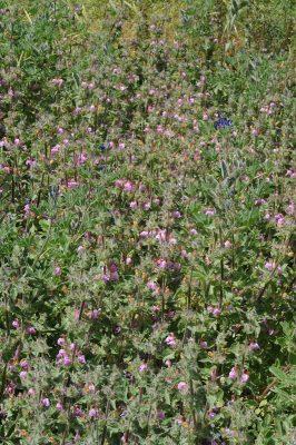 Salvia bracteata Banks & Sol.