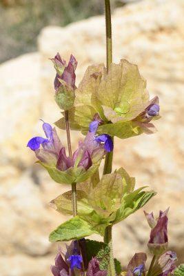 Salvia multicaulis Vahl