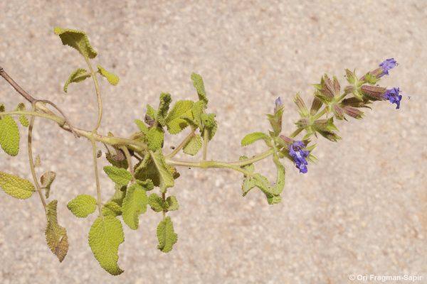 Salvia rubifolia Boiss.