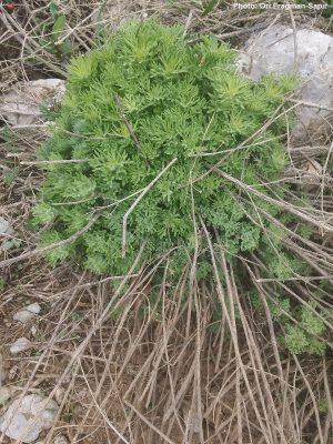 געדה מזרחית Teucrium orientale L.