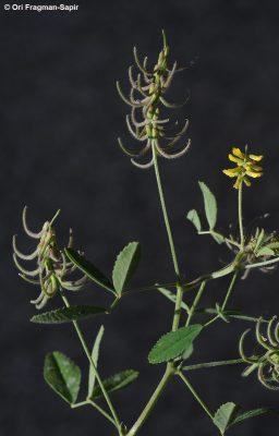 גרגרנית נימית Trigonella filipes Boiss.