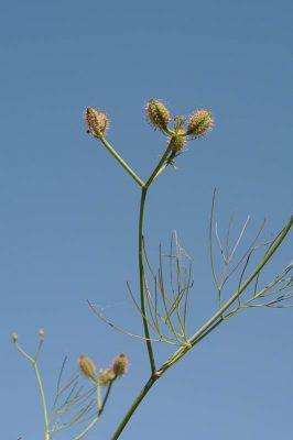 טורגנית שומרית Glochidotheca foeniculacea (Fenzl) Fenzl