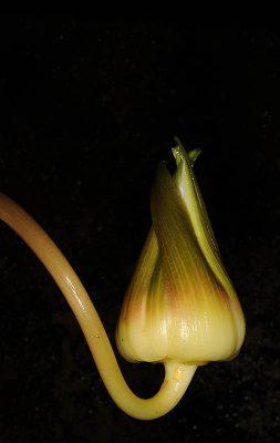 נימפאה תכולה Nymphaea nouchali Burm.f. var.caerulea (Savigny) Verdc.