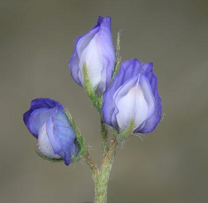 עדשה מזרחית Lens orientalis (Boiss.) Schmalh.