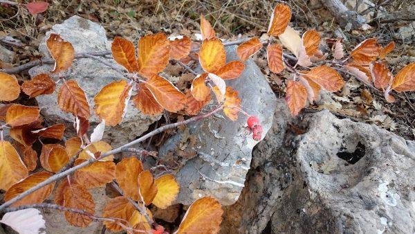 בן-חוזרר סוככי Sorbus umbellata (Desf.) Fritsch